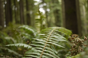 This is one of my favorite views of the redwood forest: eye level with the ferns.