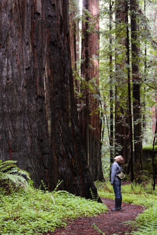 I'm standing below a spectacular redwood monarch. Photo by Ruskin Hartley.