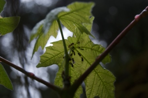 Ants tending aphids on the underside of young leaves of Big Leaf Maple (Acer macrophyllum) in Del Norte County.