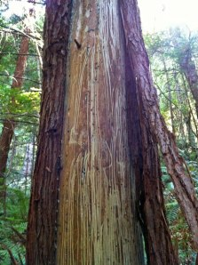Scraping teeth of a bear left this young redwood missing bark.