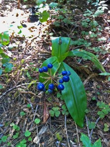 Clintonia andrewsiana bearing blue fruits at Jedediah Smith Redwoods State Park.