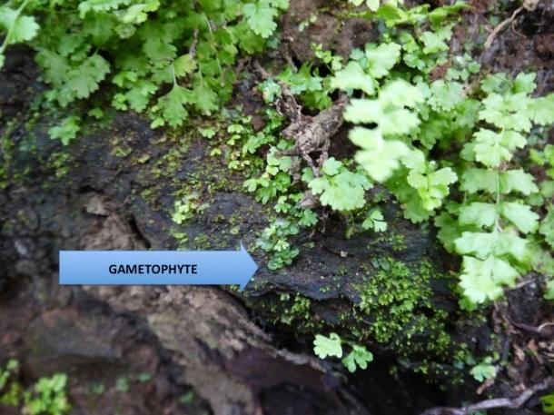 Tiny gametophyte ferns hide under another generation of sporophyte ferns on a fallen log.