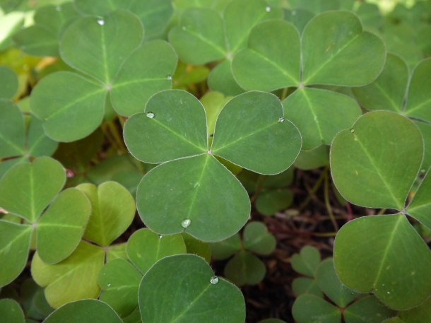 Redwood sorrel exudes water when highly hydrated at Prairie Creek Redwoods State Park.