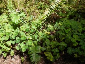 Sorrel leaves fold as the sun move across the forest floor.