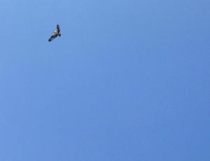 St. Catherine osprey.