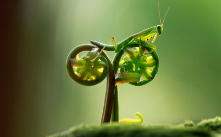 From The Telegraph:  praying mantis appears to be pedalling a bicycle in this amusing photo taken by amateur photographer, Eco Suparman, a university student from Borneo, Indonesia. He came across the mantis on a fern in a cemetery in the Ambawang River Village. Picture: Eco Suparman / CATERS NEWS