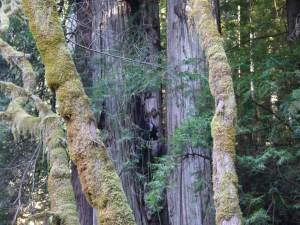Steve Sillett climbing a tall double redwood in Del Norte County.
