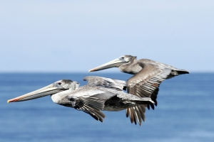 Brown pelicans soar. Photo by Mike Baird, Flickr Creative Commons.
