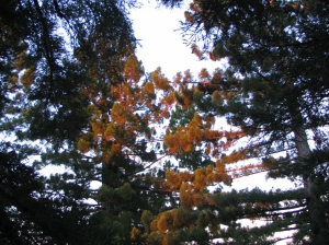 First light makes the redwood treetops glow orange.
