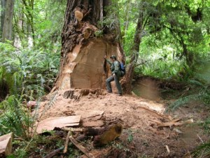 A ranger stands near a damaged coast redwood that lost its burl to poachers this week at Prairie Creek Redwoods State Park. Photo by Marshall Neeck.