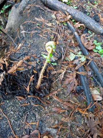A fiddlehead emerges after fire