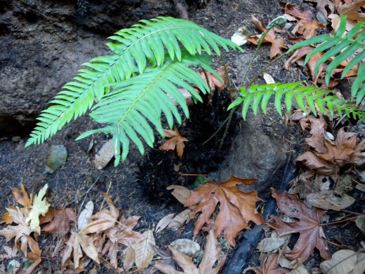 A sword fern returns to normal with a new flush of fronds after the fire.