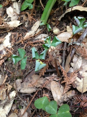 Dry redwood sorrel shows signs of drought stress at Armstrong Redwoods.
