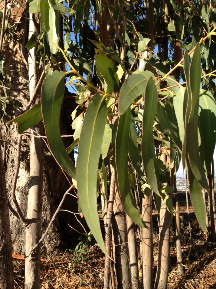 Eucalyptus leaves: the golden ticket?
