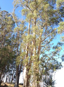 A Eucalyptus grove thrive in the California hills.