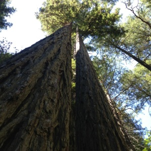 Century-old redwoods on the eastern edge of the species' range