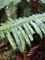 Sword fern loves having wet leaves and soaks this water up.