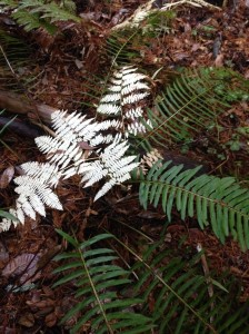A fading bracken fern leaf glows white against the green leaves of sword fern at Big Basin Redwoods State Park.