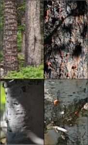 Clockwise from top left: two lodgepole pines with different bark roughness; beetle damage to a rough-barked limber pine; a limber pine with rough and smooth bark showing beetle damage only to the rough bark section; a smooth-bark limber pine. Photo by Scott Ferrenberg.