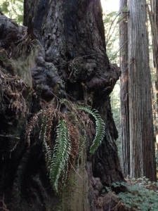 A dying epiphytic sword fern isn't lucky enough to be growing in one of the damp areas of Prairie Creek Redwoods State Park.