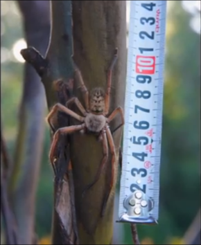 Giant Huntsman Spider!