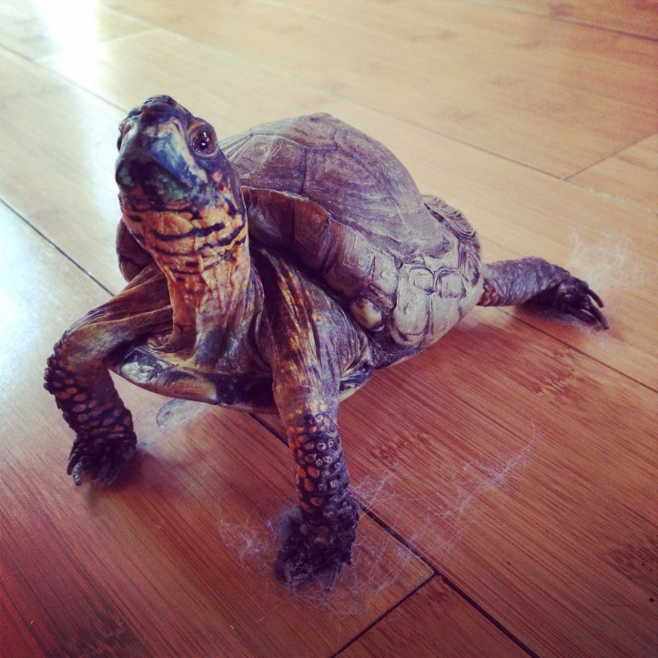 Sammy, the 33-year-old super box turtle.