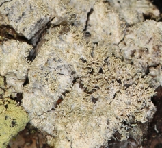 """Loxosporopsis corallifera is only known from Alaska down to the coast of Northern California. With the discovery in Muri Woods, the known geographic range for this species may need to be expanded. It is a small lichen that is firmly attached to the bark and it consists of many small """"spaghetti strands"""" called isidia that serve to disperse the lichen by breaking off and inhabiting new locations."""