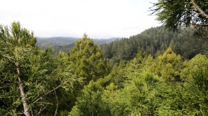 The first view above Cathedral Grove, taken by Stephen Sillett in a 76m coast redwood.