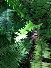 A brightly-colored new sword fern frond has been munched by a hungry sawfly larva.