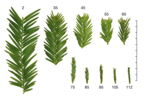 Redwood leaf length (centimeters) shrinks with tree height (meters). Image from Koch, Sillett, Jennings, and Davis (2004) The Limits to Tree Height. Nature 428: 851-854.