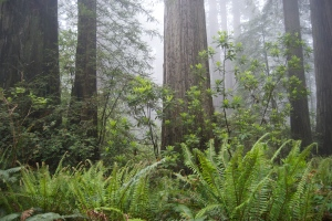 Del Norte Redwoods in May 2008 had the lush carpet of green sword fern I expected to see this year, but no luck.