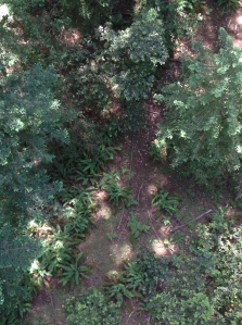 Sword ferns enjoy gaps of sun in the understory below their tall redwood neighbors.