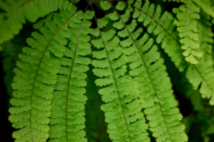 The brilliant five-finger fern that lines the canyon walls of Fern Canyon.