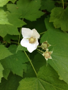White flowers of thimbleberry turn into spectacular red berries in the summer. Are the berries ripe in your neck of the woods?