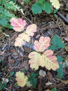 Pinks, reds, and yellows emerge as poison oak prepares to shed its leaves for the year.
