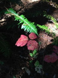 Red poison oak leaves contrast to the brilliant year-round green sword fern fronds.