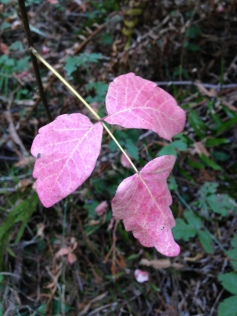 It's hard to hate a beautiful plant like poison oak, especially in the fall.