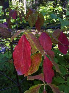 red dogwood