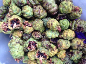 Green redwood cones abound on the forest floor this fall.