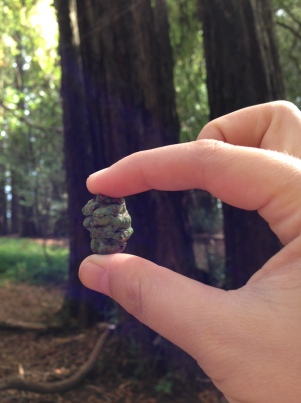Redwood seeds hidden within this green cone won't join the forest seed bank because the cone fell off the tree too soon.
