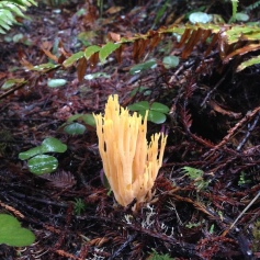 Coral fungus-yellow-JSRSP copy