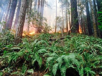 A wildfire burns through Roy's Redwoods Preserve in Western Marin on October 14, 2014. Photo by Frankie Frost, Marin Independent Journal.