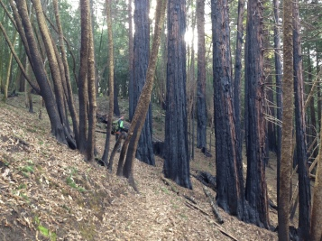 Charred bark on recently burned trees at Roy's Redwoods.
