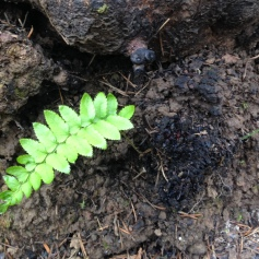 A fresh sword fern frond emerges after fire.