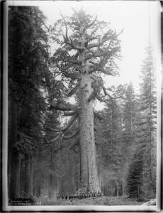 "About sixteen mounted soldiers of F Troop standing in front of ""Grizzly Giant"", a Big Tree in Mariposa Grove in Yosemite National Park, California, ca.1902. Photo by Charles C. Pierce. USC Libraries Species Collection."