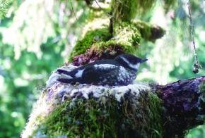 Victory for Marbled Murrelets and Ancient Redwoods