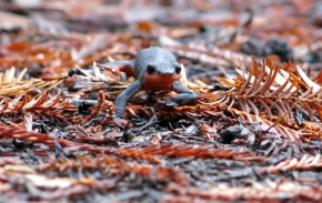 Spring Inspires Red-Bellied Newt Romance