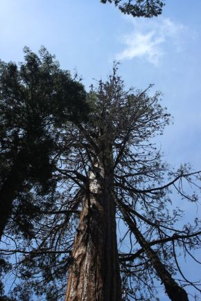 When Giant Sequoia and Drought Don't Mix