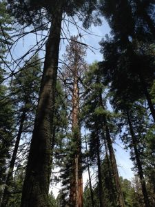 At Giant Forest, this middle-aged giant sequoia has lost most of its leaves at this point in the drought.