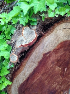 Brilliant green ivy leaves (left) cover the 2-inch wide ivy vine shown in cross-section on the outside of the this fallen coast redwood trunk (right).